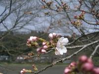 3月21日 ソメイヨシノ