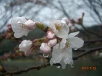 3月23日 ソメイヨシノ