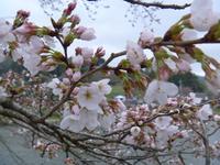 3月24日 ソメイヨシノ