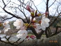 3月29日 ソメイヨシノ 2