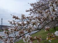 3月31日 ソメイヨシノ 1