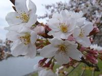 3月31日 ソメイヨシノ 2