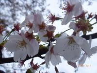 4月11日 ソメイヨシノ 2