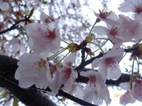 4月12日 ソメイヨシノ 1