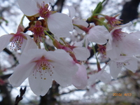 4月12日 ソメイヨシノ 2