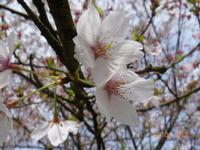 4月13日 ソメイヨシノ