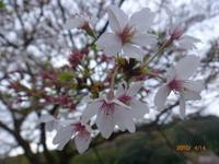 4月14日 ソメイヨシノ