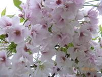 4月14日 八重桜 1
