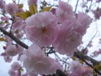 4月14日 八重桜 2