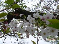 4月1日 ソメイヨシノ 2