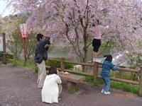 4月18日 しだれ桜