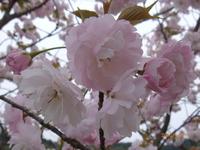4月18日 八重桜