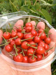 20120523鉢植えサクランボ.jpg