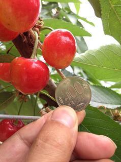 20120618サクランボ「紅秀峰」.jpg