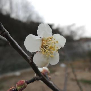 20130309果樹センター梅開花.jpg